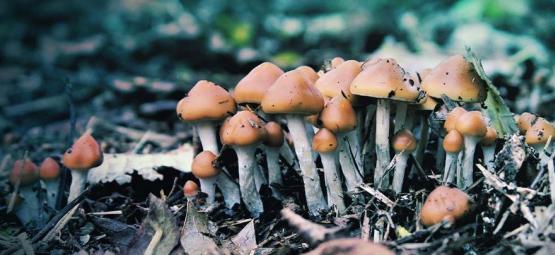 Meer Informatie Over De Paddo Psilocybe Azurescens
