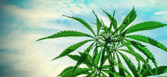 De Beste Cannabis Zaden Om Te Kweken In Een Warm Klimaat