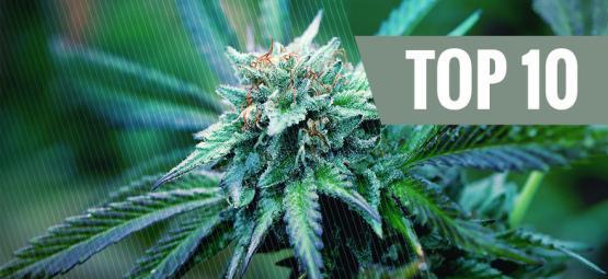 Top 10 Medische Marihuana Soorten
