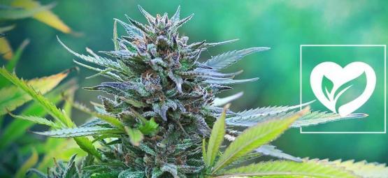 Is Cannabis Veganistisch?