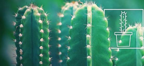 Het Kweken En Verzorgen Van De San Pedro Cactus