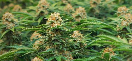 Speciale Cannabissoorten Voor SOG Door Philosopher Seeds
