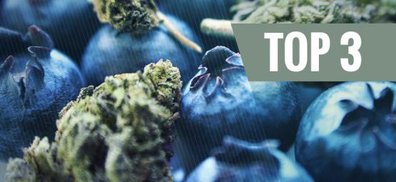 De Oorsprong Van Blueberry Cannabis En De Top 3 Blueberry Strains