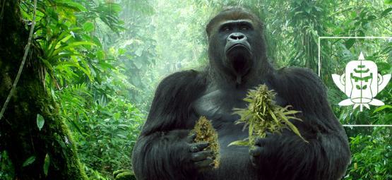 De Oorsprong Van Gorilla Glue Cannabis En De Top 3 Gorilla Glue Variëteiten