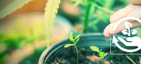 Het Belang Van De Verschillende Groeifases Van Cannabis
