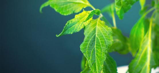 Hoe Verwerk Je Je Salvia Divinorum Plant?