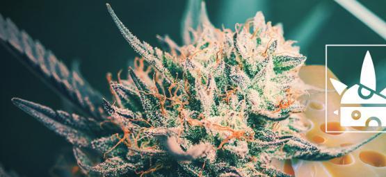 De Top 3 Cheese Cannabis Soorten En Hun Cheesy Geschiedenis