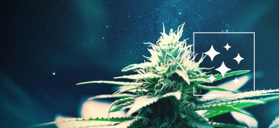 De Oorsprong Van Northern Lights En De Top 3 Northern Lights Cannabis Soorten