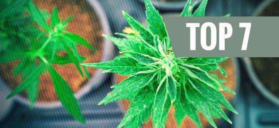 Top 7 Cannabissoorten Met Een Unieke THC:CBD Verhouding