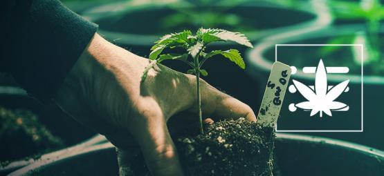 Je Eerste Cannabis Plant Kweken In 10 Stappen