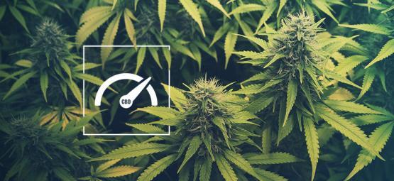 Hoe Verhoog Je Het CBD Niveau Bij Het Kweken Van Cannabis?