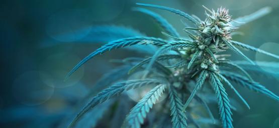 Cannabissoort Met Minder Dan 1% THC: CBD Fix Auto