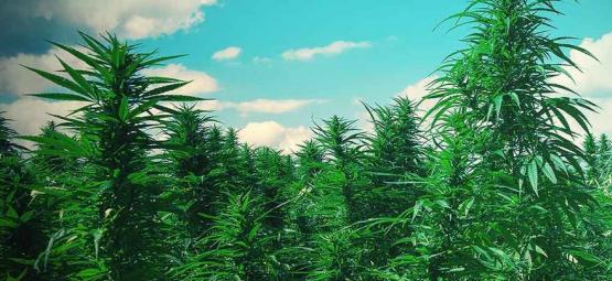 Top 10 Tips Voor Het Kweken Van Wietbomen