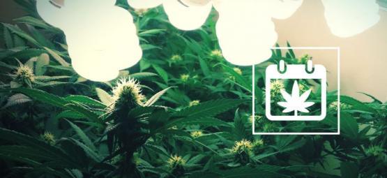 Non-Stop Oogst: Hoe Knip Je Het Hele Jaar Wietplanten