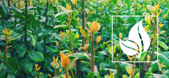Wat Is Khat?