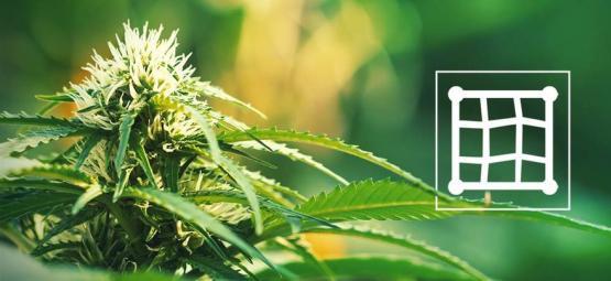 De Beste Cannabissoorten Om Te Kweken Met Een Screen Of Green (ScrOG)