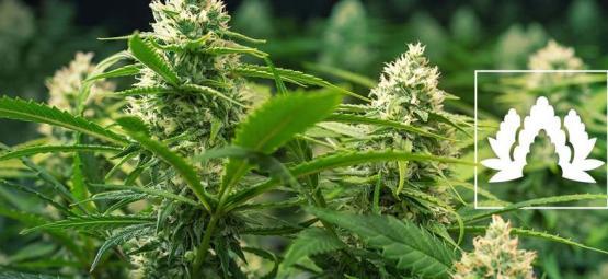 De 5 Beste Cannabis Soorten Voor Een Sea Of Green (SOG)