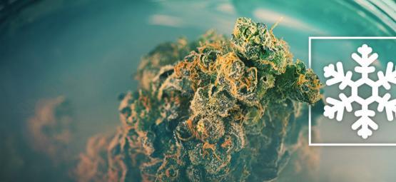 Cannabis Invriezen, Ja Of Nee?