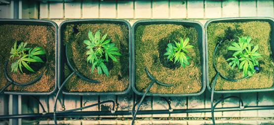 Wanneer En Hoe Verplant Je Cannabisplanten Voor Een Grotere Opbrengst?