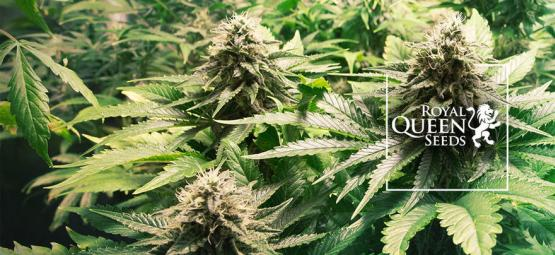 Top 10 Cannabis Strains Van Royal Queen Seeds