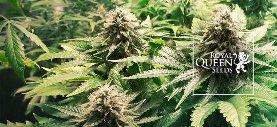 Top 10 Cannabis Strains Van Royal Queen Seeds