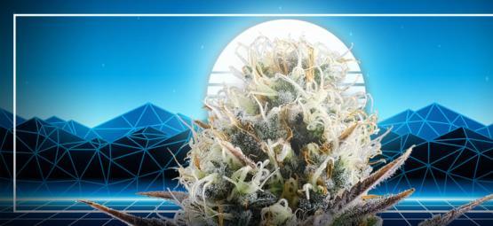 Het Toppunt Van Cannabisevolutie: Blue 2.0