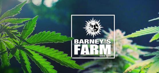 De Allerbeste Cannabisvariëteiten Van Barney's Farm