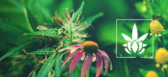 Cannabinoïden Zitten Niet Alleen In Cannabis