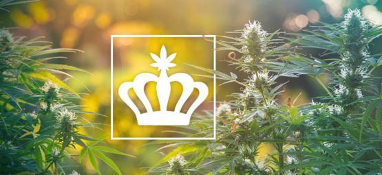 Wat Zijn Heirloom Cannabisplanten?