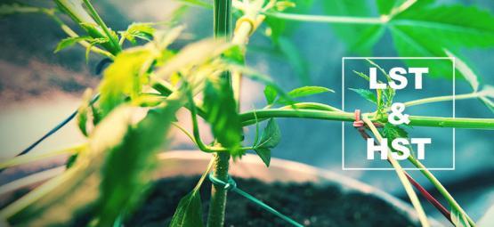HST En LST Voor Het Trainen Van Je Cannabisplanten
