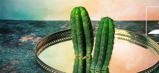 6 Broodjeaapverhalen Over De San Pedro-Cactus Ontkracht