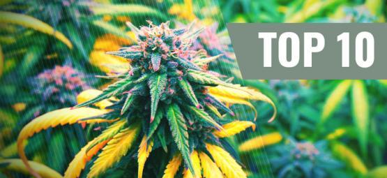 Top 10 Cannabis Strains Voor Het Herfstseizoen
