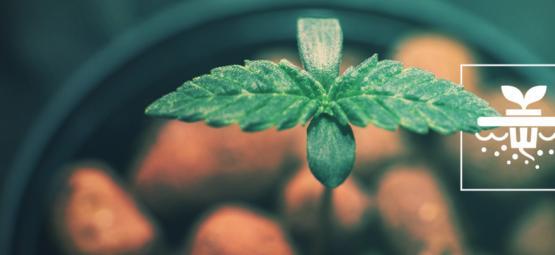 Deze 5 Cannabisstrains Zijn Perfect Voor Diepwatercultuur