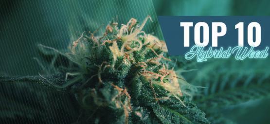 Top 10 Hybride Cannabis Strains In Amsterdam