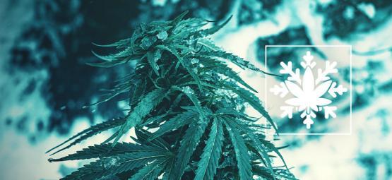 Hoe Kweek Je Cannabis In De Winter? (Ja, Het Kan!)