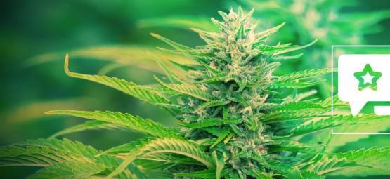 Gorilla Zkittlez: Cannabis Strain Review & Informatie