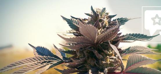 Wedding Cake: Cannabis Strain Review & Informatie