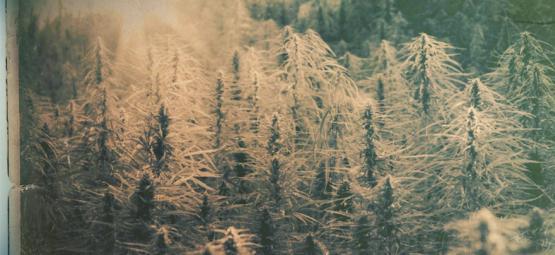 Landrassen: De 5 Oudste Cannabis Strains