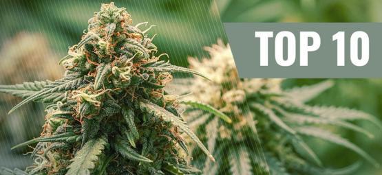 Top 10 Haze Cannabis Strains