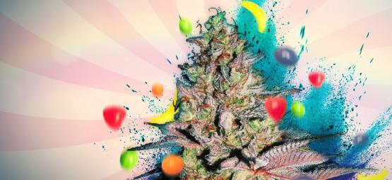 Runtz Auto: Cannabis Strain Review & Informatie