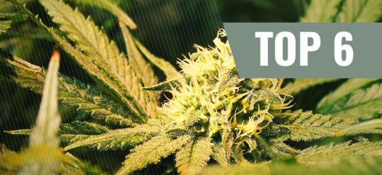 Top 6 Cannabis Strains Met THCV