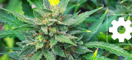 Zijn Autoflowering Cannabissoorten Minder Krachtig Dan Andere?