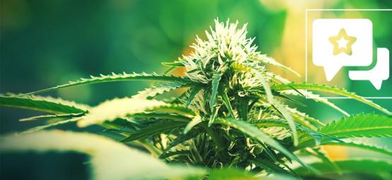 Super Lemon Haze: Cannabis Strain Review & Informatie