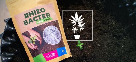 Hoe Rhizobacteriën De Groei Van Wietplanten Kunnen Bevorderen