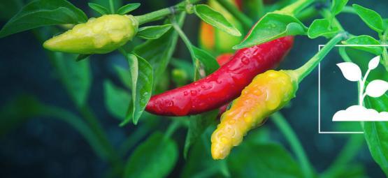 Pepers Kweken Voor Beginners In 10 Simpele Stappen
