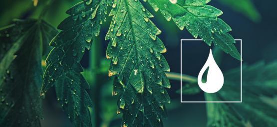 Hoeveel Water Hebben Cannabisplanten Nodig?