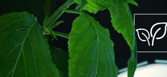 Hoe Kweek Je Salvia Divinorum?