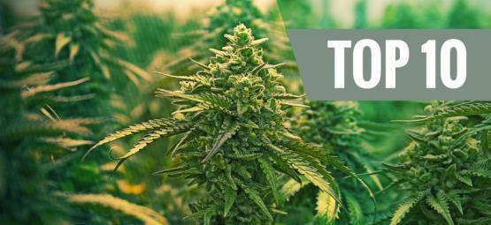 Top 10 Beste Feminized Cannabissoorten