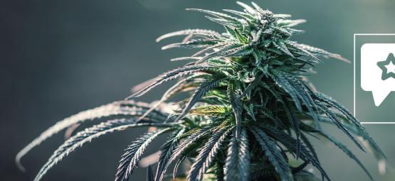 Northern Lights: Cannabis Strain Review & Informatie