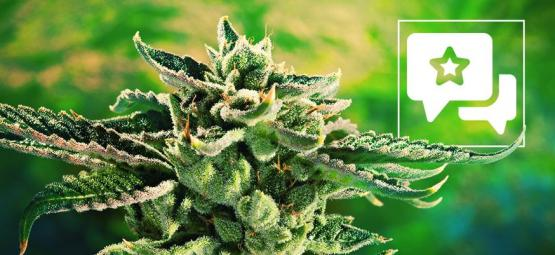 Blue Cheese: Cannabis Strain Review & Informatie